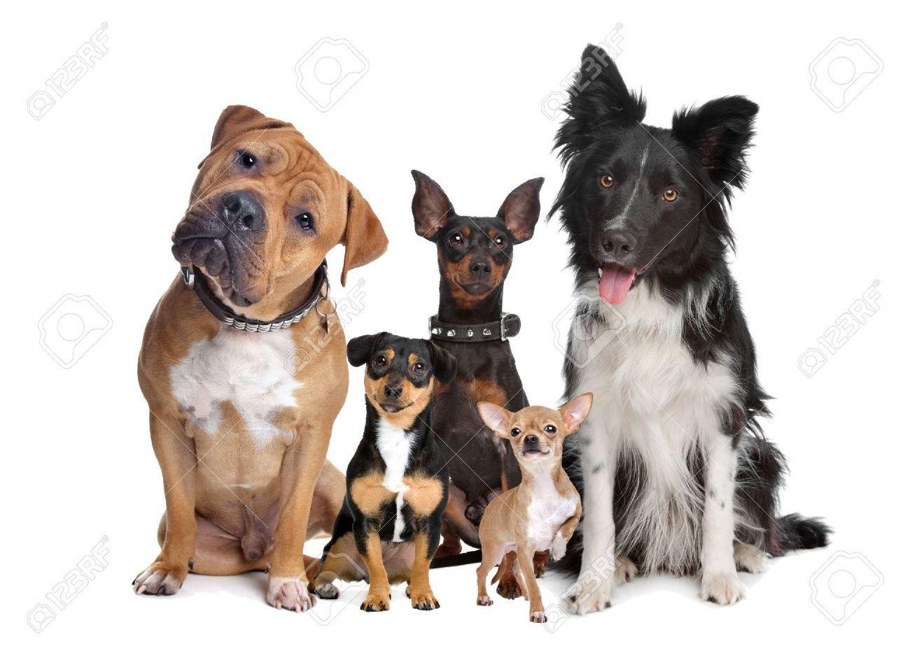 12374980-gruppo-di-cinque-cani-seduto-davanti-a-uno-sfondo-bianco-Archivio-Fotografico