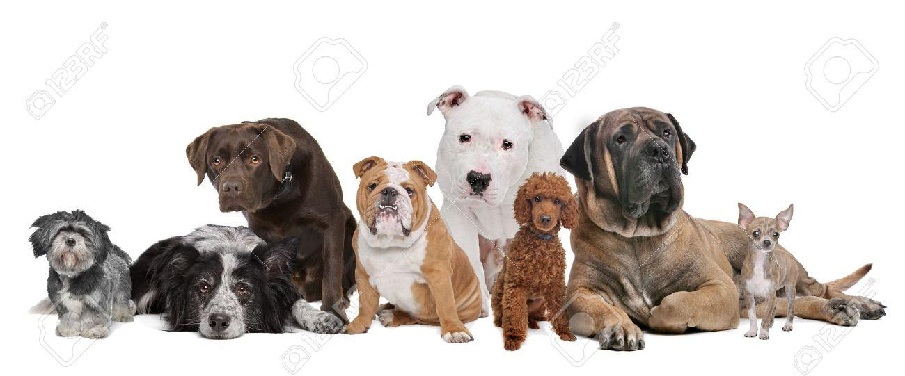 14578646-Group-of-eight-dogs-sitting-in-front-of-a-white-background-Stock-Photo
