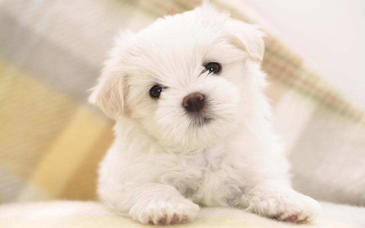 beyaz-yavru-kopek.jpg.jpg